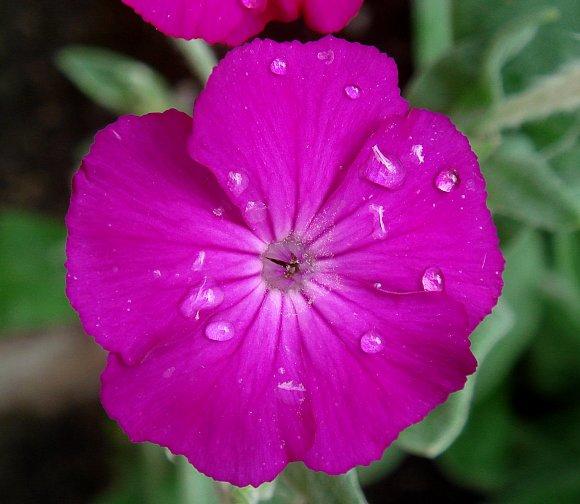 Campion (Rose) / Rose Campion - Wild Flower Finder