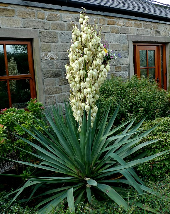 dagger spanish spanish dagger yucca wild flower finder. Black Bedroom Furniture Sets. Home Design Ideas