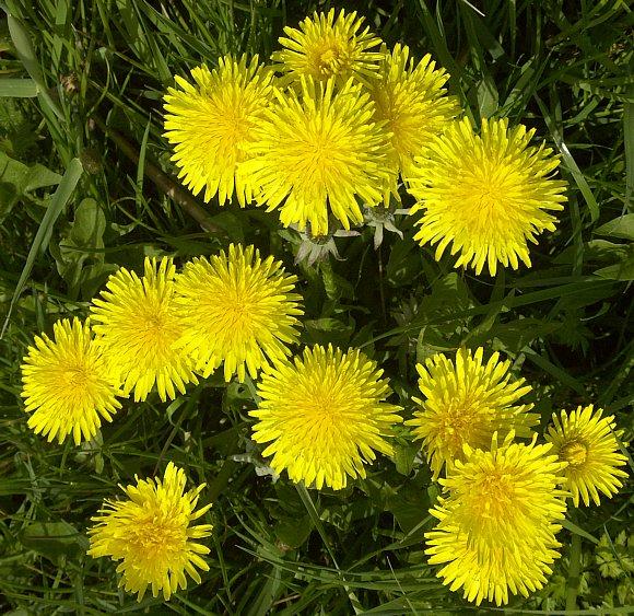 Dandelion wild flower finder 25th april 2005 lancaster canal mightylinksfo