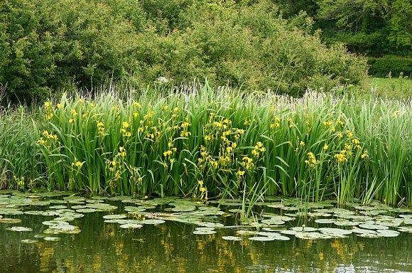 iris yellow / yellow iris / yellow flag  wild flower finder, Natural flower