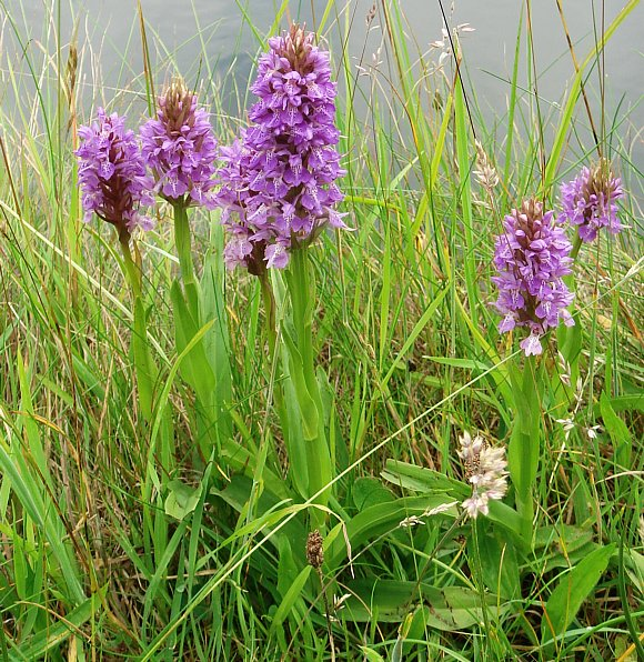 Southern Marsh Orchid Orchid Southern Marsh Wild