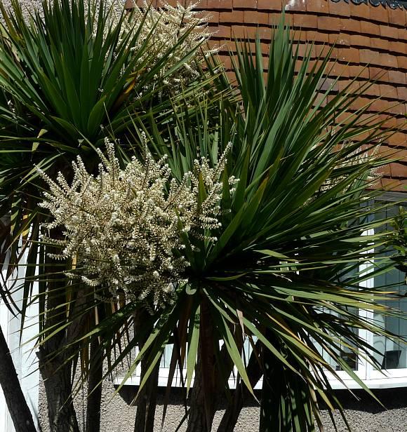 palm cabbage cabbage palm tree wild flower finder. Black Bedroom Furniture Sets. Home Design Ideas