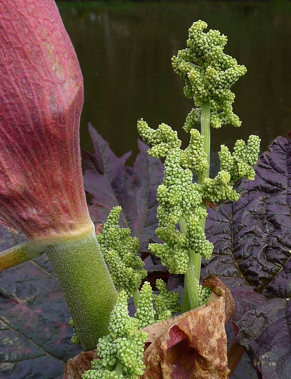 Rhubarb Flowers What To Do When Rhubarb Goes To Seed: Wild Flower Finder