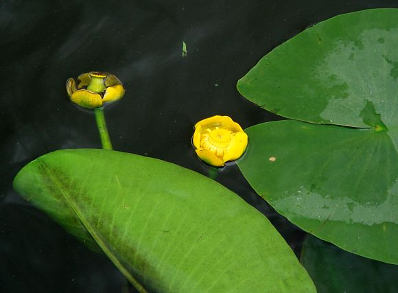 yellow water lily flower - photo #11