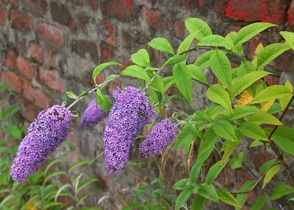 Butterfly Bush Butterfly Bush Buddleja Buddleia
