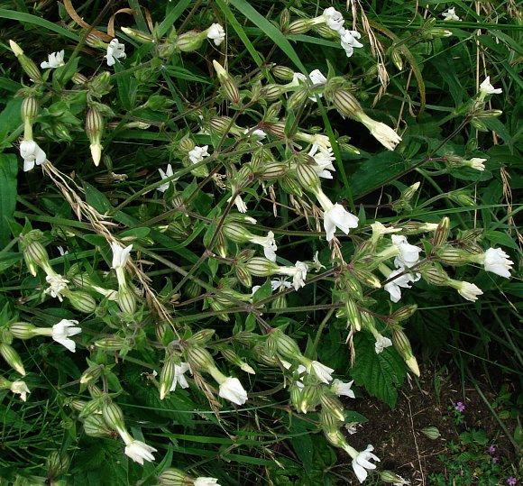 Campion White White Campion Wild Flower Finder