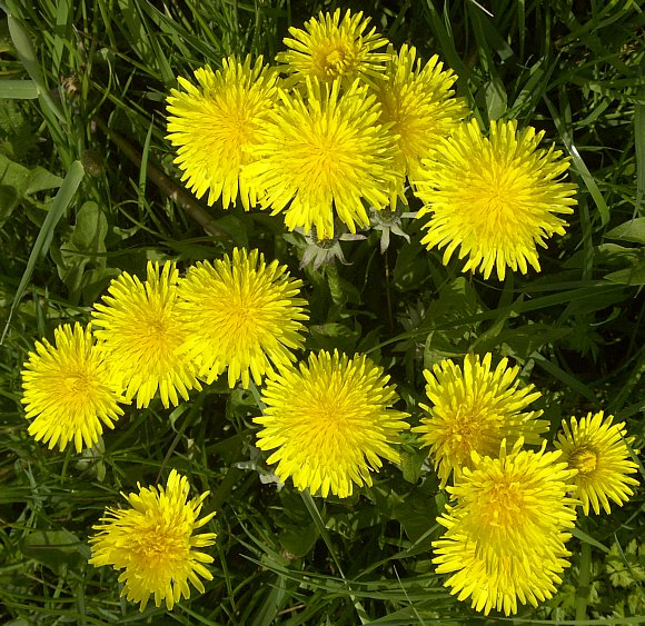 Dandelion wild flower finder 25th april 2005 lancaster canal mightylinksfo