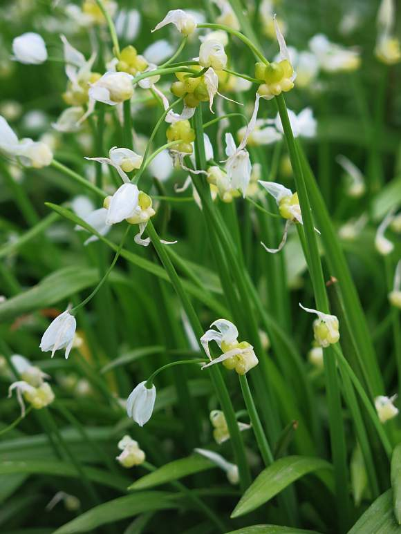 Garlic (Few-Flowered) / Few-Flowered Garlic / Few Flowered