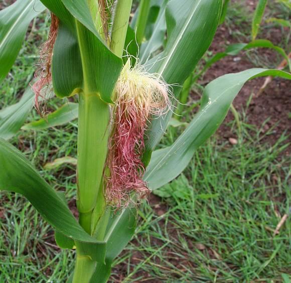 Maize Zea Mays Wild Flower Finder