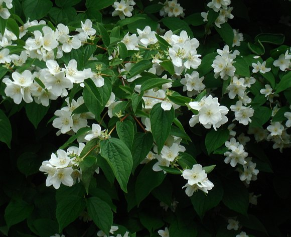 Mock Orange Sweet Mock Orange Shrub Syringa Wild