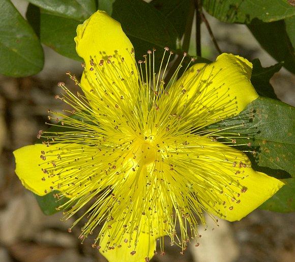 Rose Of Sharon Rose Of Sharon Wild Flower Finder